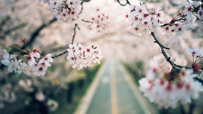 Turystyczne punkty must-see w Seulu – 벚꽃 (kwiaty wiśni)